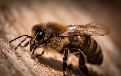De BijZaak gaat samenwerken aan het verhelpen van bijensterfte